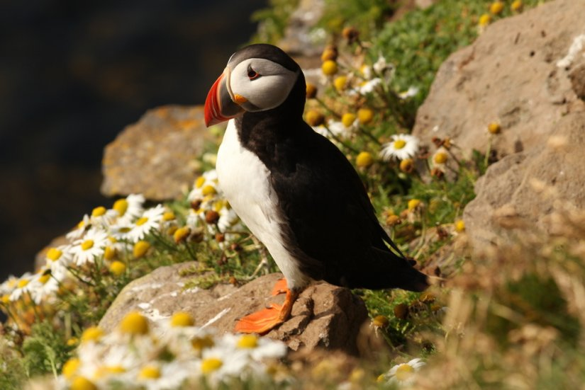 Puffin, Ecosse
