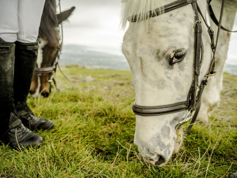 Poney du Connemara